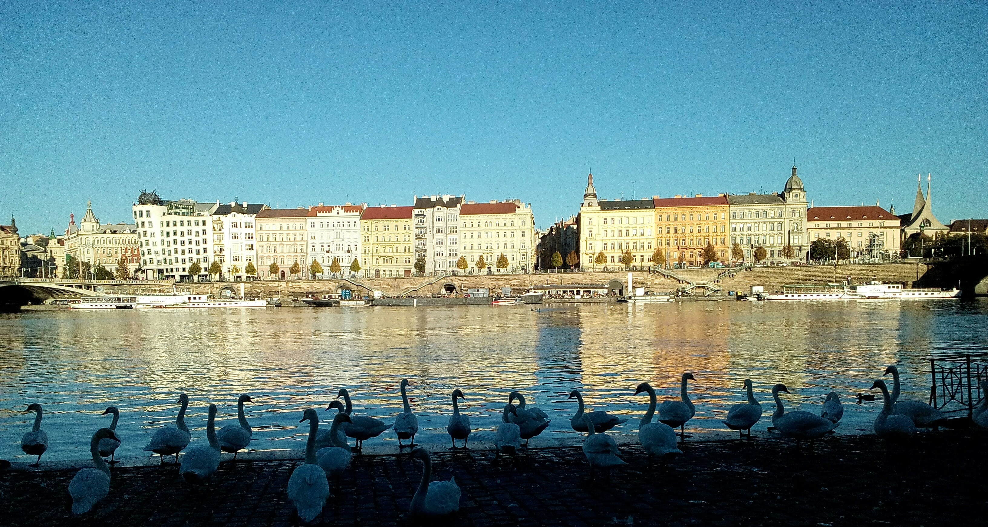 swans of prague